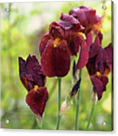 Burgundy Bearded Irises In The Rain Acrylic Print by Rona Black