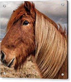 Bushy Icelandic Horse Acrylic Print by Pradeep Raja PRINTS