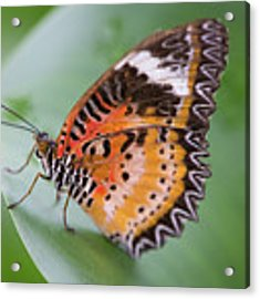 Butterfly On The Edge Of Leaf Acrylic Print by John Wadleigh