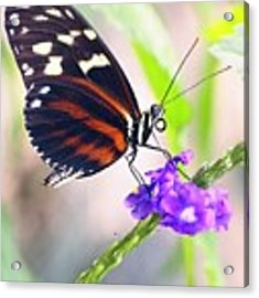 Butterfly Side Profile Acrylic Print by Garvin Hunter