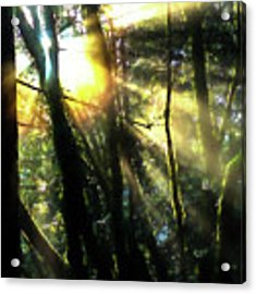 California Redwoods Acrylic Print by Richard Ricci