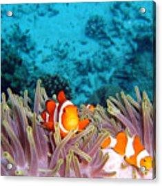 Clown Fishes Acrylic Print