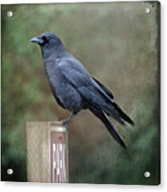 Crow Parking Acrylic Print by Sally Banfill
