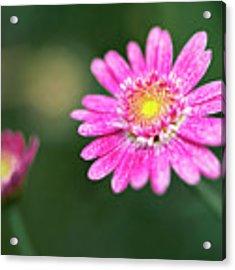 Daisy Flower Acrylic Print by Pradeep Raja Prints