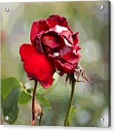 December Rose #12 Acrylic Print by Brian Gryphon