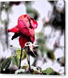 December Rose #16 Acrylic Print by Brian Gryphon