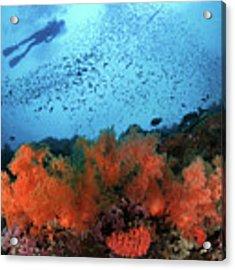 Diver And Soft Corals In Pescador Island Acrylic Print