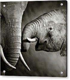 Elephant Affection Acrylic Print