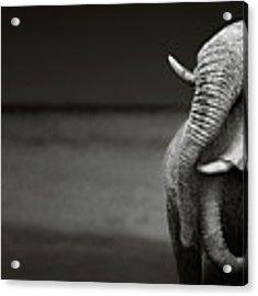 Elephants Interacting Acrylic Print by Johan Swanepoel