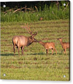 Elk Kisses Acrylic Print by Jemmy Archer