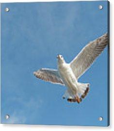 Flying Seagull Acrylic Print by Pradeep Raja PRINTS