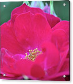 For The Love Of Rose 8 Acrylic Print by Victor K