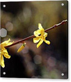 Forsythia Flowers Acrylic Print by Helga Novelli