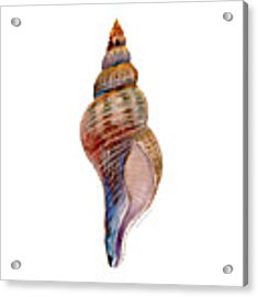 Fox Shell Acrylic Print by Amy Kirkpatrick