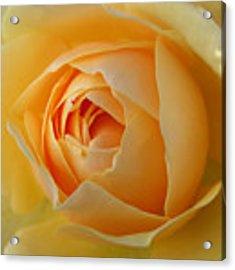 Graham Thomas Old Fashioned Rose Acrylic Print by Jocelyn Friis