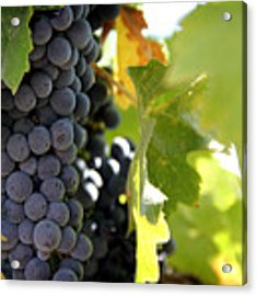 Grapes Acrylic Print by Nancy Ingersoll