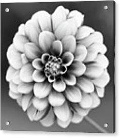 Graytones Flower Acrylic Print
