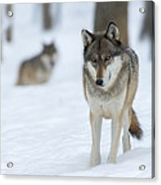 Grey Wolf In Snow With Wolf In Distance Acrylic Print by Dan Friend