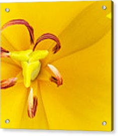 Heart Of The Tulip Acrylic Print by William Jobes