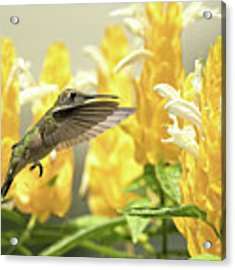 Hummingbird Reaches For The Gold Acrylic Print by William Jobes