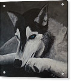 Husky Resting Acrylic Print by Laurel Best
