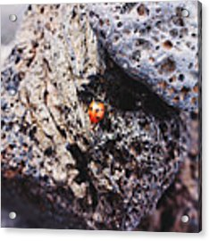 Ladybird  Acrylic Print by Martina Uras