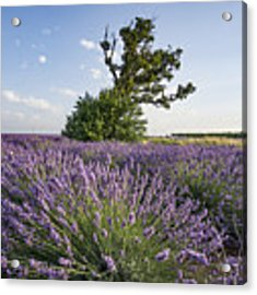 Lavender Provence  Acrylic Print by Juergen Held