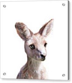 Little Kangaroo Acrylic Print by Amy Hamilton