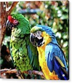 Macaw Parrots Acrylic Print by Cynthia Guinn