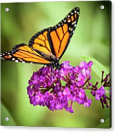 Monarch Moth On Buddleias Acrylic Print by Carolyn Marshall