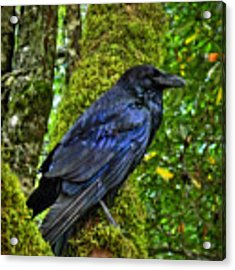 Muir Woods Raven 001 Acrylic Print by Lance Vaughn