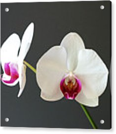 Orchid Blooms Acrylic Print by Laurel Best