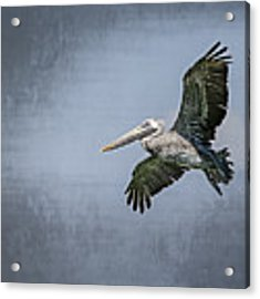 Pelican Flight Acrylic Print by Carolyn Marshall