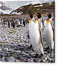 Penguins Of Salisbury Plain Acrylic Print by Karen Lunney