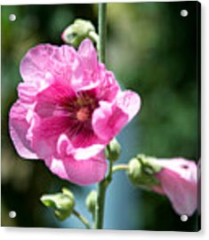Pink Flower Acrylic Print by Yew Kwang