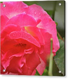 Pink Rose Acrylic Print by Kelly Hazel