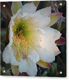 Prickley Pear Cactus Acrylic Print by Kate Word