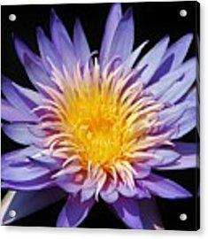 Purple Lotus Acrylic Print by Cynthia Guinn
