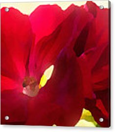 Red Velvet Twin Geraniums  Acrylic Print by Shelli Fitzpatrick