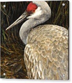Sandhill Crane - Realistic Bird Wildlife Art Acrylic Print by Karen Whitworth