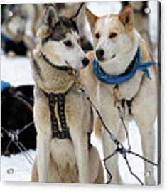 Sled Dogs Acrylic Print by David Buhler