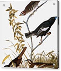 Sparrows Acrylic Print by John James Audubon