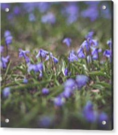 Spring Flowers - Scilla Acrylic Print by Viviana Nadowski