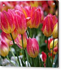 Spring Tulips In The Rain Acrylic Print by Rona Black