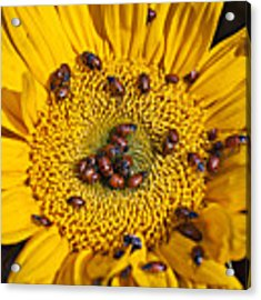 Sunflower Covered In Ladybugs Acrylic Print