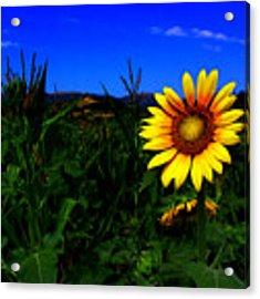 Sunflower Acrylic Print by Silvia Ganora