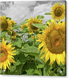 Sunflowers I Acrylic Print by Dylan Punke