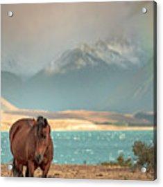 Tekapo Horse Acrylic Print by Chris Cousins