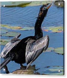 The Bird, Anhinga Acrylic Print by Cindy Lark Hartman