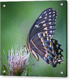 The Mattamuskeet Butterfly Acrylic Print by Cindy Lark Hartman